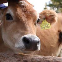 国産ジャージー牛🐂